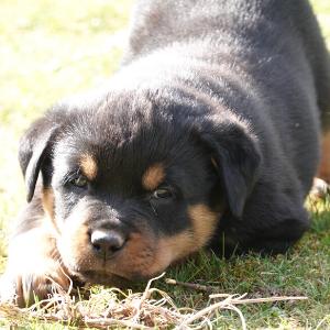 oskar top notch k9s breeder breeding rottweiler fresno california german bloodline (24)