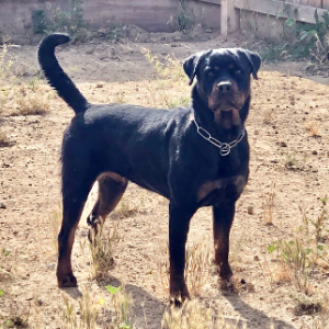 top notch k9s breeder breeding rottweiler fresno california german bloodline (9)