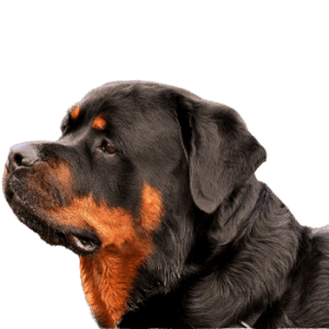 top notch k9s breeder breeding rottweiler fresno claifornia german bloodline (12) (1)